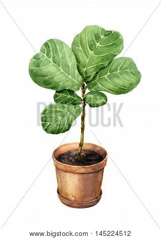 Hand drawn pot plant. Watercolor green Ficus Lyre in clay flowerpot isolated on white.