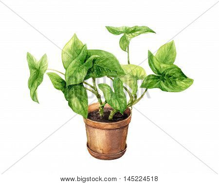Hand drawn pot plant. Watercolor green liana in clay flowerpot isolated on white.