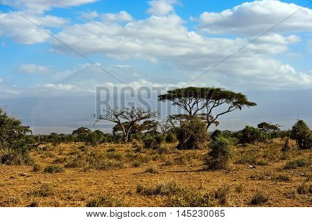 African Tree In The Savannah