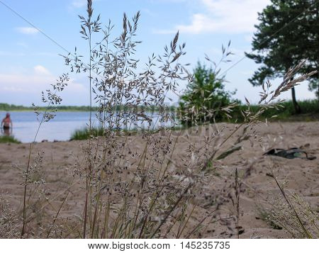View of the sandy shore of a small lake through the panicle bluegrass