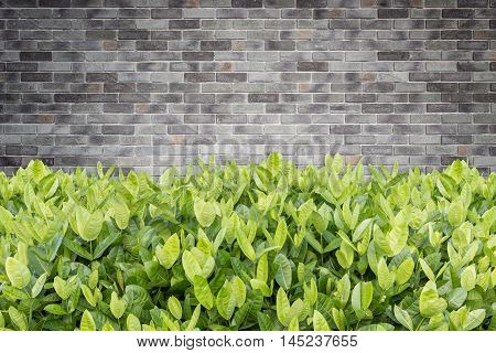 Tree Of Ixora. Tropical Flower In Garden Decoration And Stone Wall