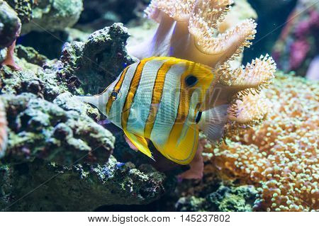 Chelmon rostratus (Copperband Butterflyfish) - colorful sea fish