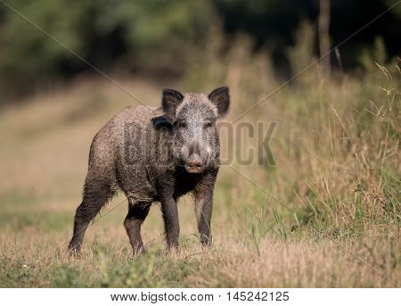 Wild boar (sus scrofa ferus) standing on meadow in front of forest and looking at camera in summer time. Wildlife animal in natural habitat
