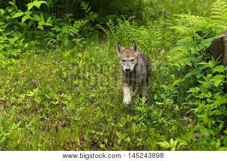 Grey Wolf (Canis lupus) Pup Runs Around Rock - captive animal