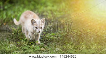 Cute red kitten walking in the grass