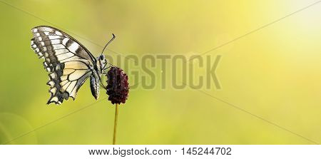 Banner of a swallowtail butterfly as sitting on a purple flower