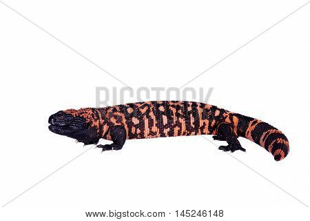 Gila Monster, Heloderma suspectum, isolated on white background