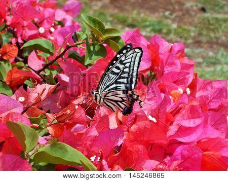 Swallowtail butterfly Papilio xuthus on bougainvillea in Hawaii