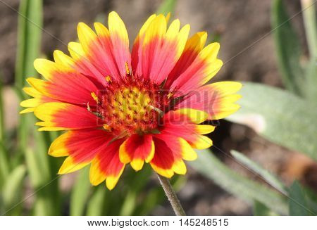 Single Indian blanket flower with yellow center, red and yellow petals on green stem.