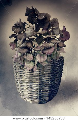Hortensia in a pot in grungy vintage style