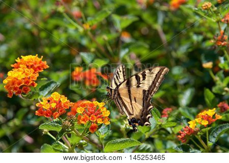 The Black Swallowtail butterfly also called the American Swallowtail or Parsnip Swallowtail. Drinking nectar from orange and yellow Lantana flowers