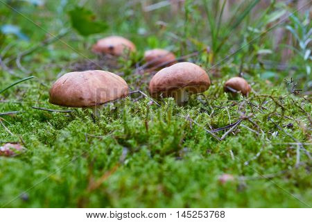 A group of edible forest mushrooms (Suillus luteus)