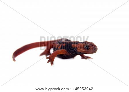 The emperor newt, Tylototriton shanjing, isolated on white background