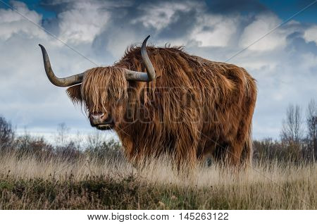 Furry yak bull moving on a field under a cloudy sky