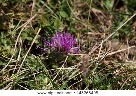 Flower of a dwarf thistle (Cirsium acaule) in a meadow.