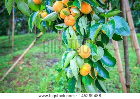Unripe persimmon & fresh green leaves at Chiang Mai Thailand