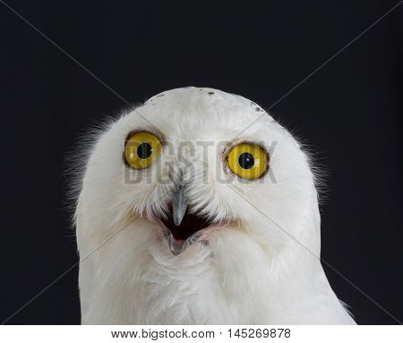 Snowy Owl - Bubo scandiacus on black background