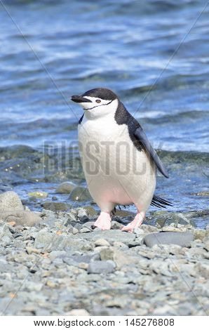 Chinstrap penguin on the rock beach at Antarctica