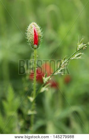 Beautiful poppy flower bed