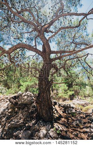 pine in Samaria Gorge in central Crete Greece