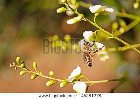 Honeybee collecting pollen on flower