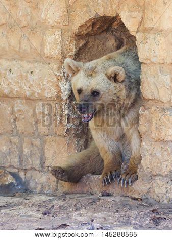 Syrian Bear  Looks Out From A Passage In The Wall