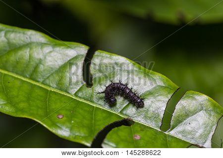 Middle Instar Knight Caterpillar