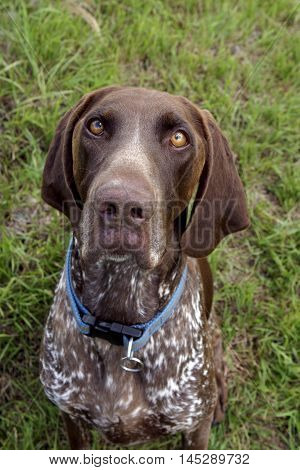 German Shorthair Pointer Dog sitting portrait close up