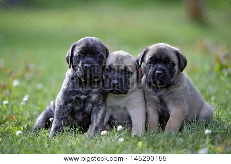 Three Mastiff Puppies sitting  together on grass