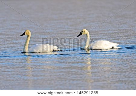 Tundra Swan with yound adult swimming on Lake