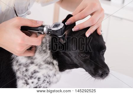 Close-up Of A Vet Examining Dog's Ear In Clinic