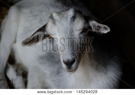 Cute young goat resting in the paddock. Farm animal in low key photography