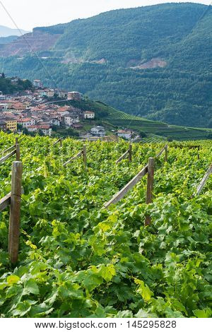 Trentino vineyards landscape in the summer Italy
