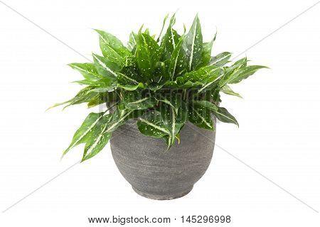 Dieffenbachia In Flowerpot