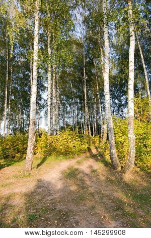 Birch grove against the sky the autumn by the day