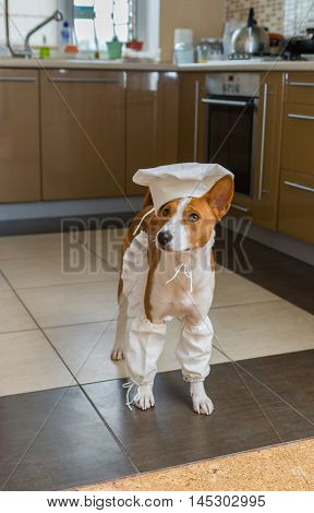 Smart basenji dog is ready to help the master-chef with kitchen work.