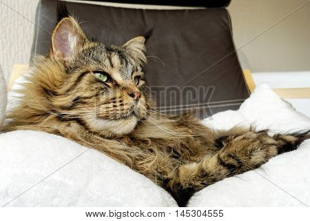 Golden Brown Tabby Maine Coon cat with long dense lynx tips is laying on dark brown leather armchair looking sideways.