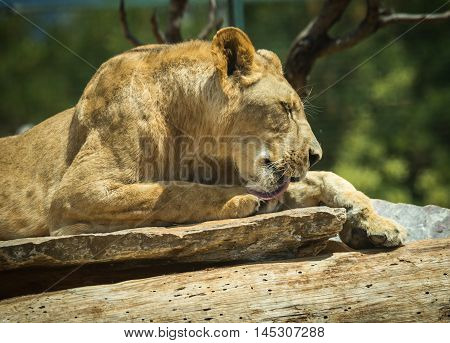 Close-up Portrait Of A Lioness Resting On A Log