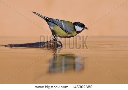Side view of Great tit bird on water