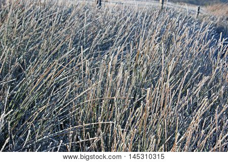 Snow on long grass in the winter