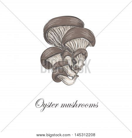 Oyster mushrooms. Colored oyster mushrooms. Sketch vector