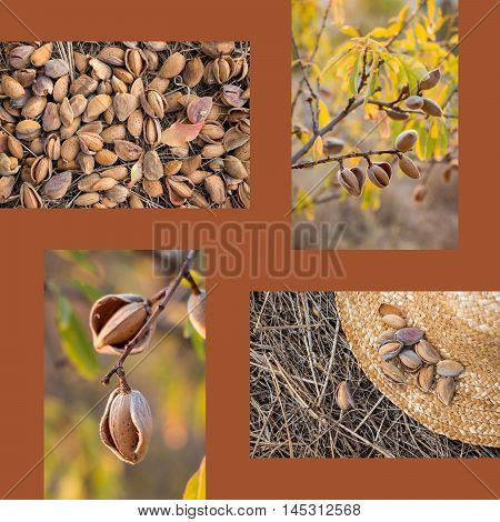 Collage of ripe almonds on the branches harvesting almonds almonds on the straw hat 4 photos on the brown background. Collage from 4 photos of ripe almonds. Horizontal. Vertical. Daylight.