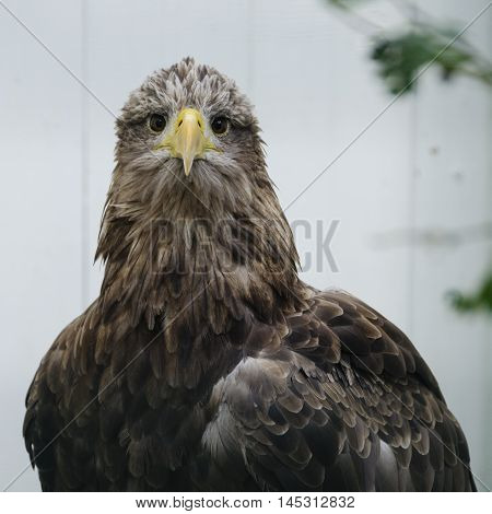 Adult white tailed sea eagle (haliaeetus albicilla) in captivity