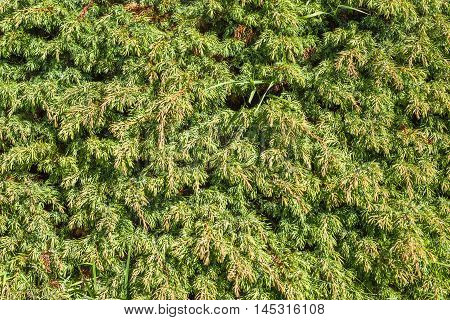 Pine Bush Tree High In The Alps