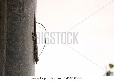 Lizard on the wall, in front of white background