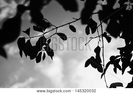 silhouette of a leave and branch of tree with blurred sky background