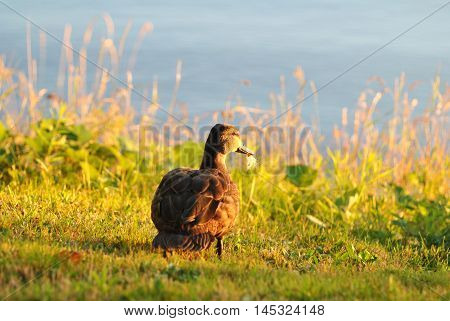 Mallard Duckling Standing on the Edge of a Lake Watching a Bright Sunset