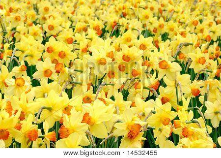 The Yellow Joy Of Springtime