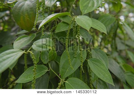 Closeup Fresh green peper on tree in garden