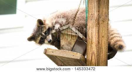 Raccoon (Procyon lotor) on a bird feeder, eastern Ontario.  Masked mammal has a bit of fun while he looks for and finds an easy meal.  Friendly animal lovers helping the woodland critters.
